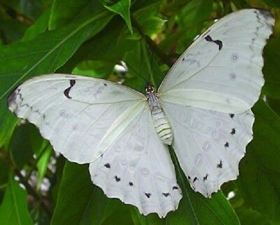 One Real Butterfly White Morpho Polyphemus Unmounted Wings Closed