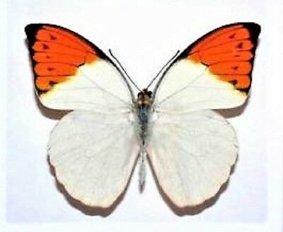 One Real Butterfly White Orange Tip Hebomoia Glaucippe Unmounted Wings Closed