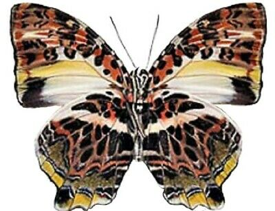 One Real Butterfly Pink Red Agatasa Calydonia Unmounted Wings Closed