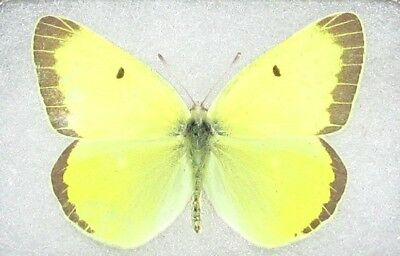 One Real Butterfly Yellow Colias Alexandra Arizona Wings Closed