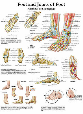 A3 Medical Poster - The Human Foot & Joint (Text Book Anatomy Picture Doctor)