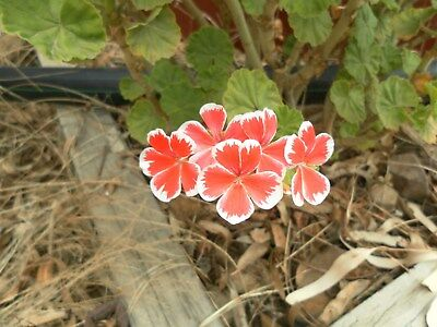 25 GERANIUM Cuttings - mixed, good variety Expess Post Lot 1