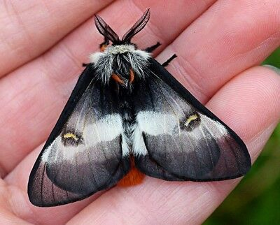 One Real Day Flying Buck Moth Hemileuca Maia Indiana Unmounted Wings Closed
