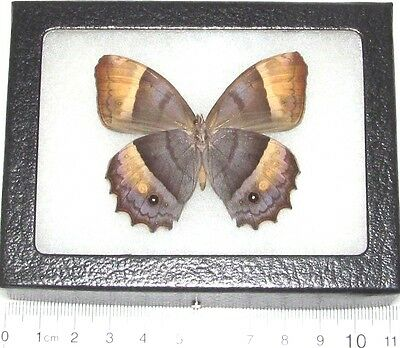 Real Framed Butterfly Satyridae Verso Central America