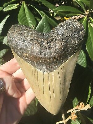 Massive 6.07 Inch Megalodon Tooth Weighs Over 1 Pound! Fossil Shark Teeth