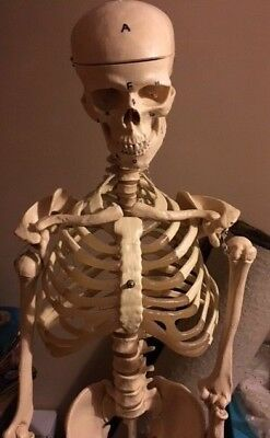 Full Size Skeleton for Medical studies complete used Sussex student with Stand