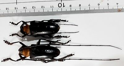 Nemophas batoceroides male 41mm female 40 mm from Timor Indonesia