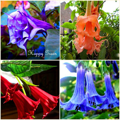 ANGEL'S TRUMPETS MIX - 6 SEEDS - Datura brugmansia - Tropical woody shrub