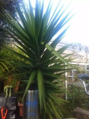 Yucca , 1 -8 Foot Tall In Pot