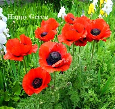 ORIENTAL POPPY MIX - 1200 SEEDS - Papaver Orientale - VERY LARGE FLOWER