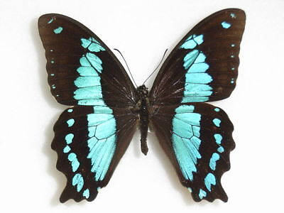 One Real Butterfly Blue Papilio Desmondi Tanzania Unmounted Wings Closed