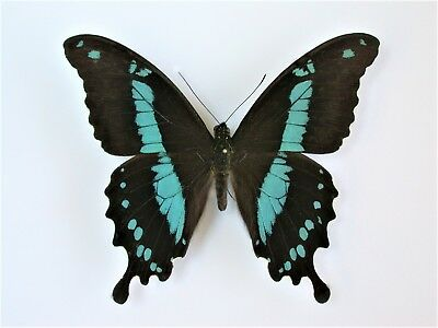 One Real Butterfly Blue Papilio Hornimani Tanzania Unmounted Wings Closed