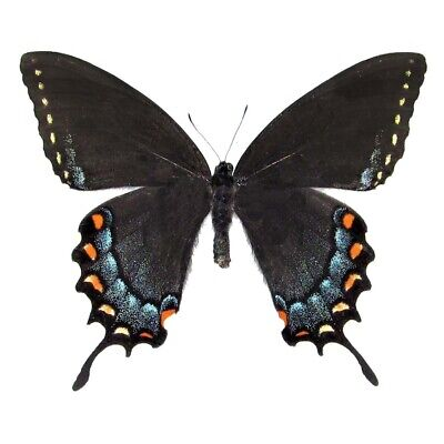 One Real Butterfly Papilio Glaucus Black Form Female Unmounted Wings Closed