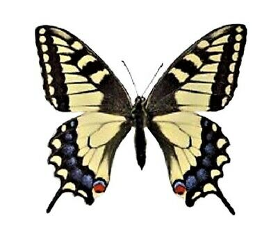 One Real Butterfly Yellow Papilio Machaon Unmounted Wings Closed