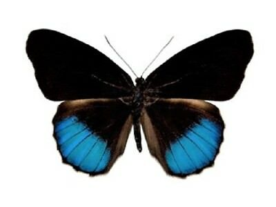 One Real Butterfly Blue Eunica Norica Unmounted Wings Closed Peru