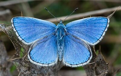 One Real Butterfly Adonis Blue Lysandra Bellargus Unmounted Wings Closed France