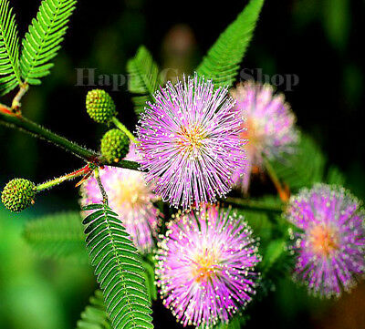SENSITIVE PLANT - 310 SEEDS - Touch me not - MIMOSA PUDICA