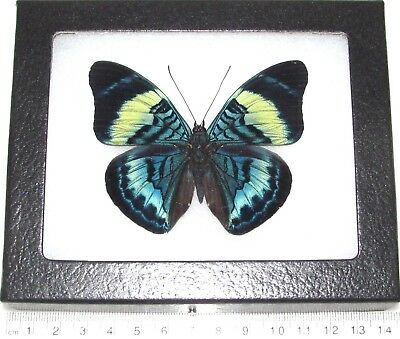 Real Framed Butterfly Blue Panacea Prola Peru