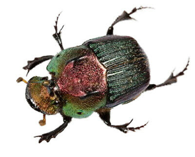 One Real Green Phanaeus Vindex Female Scarab Dung Beetle Pinned