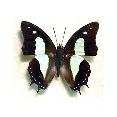 One Real Butterfly Green Polyura Athamas Recto Unmounted Wings Closed