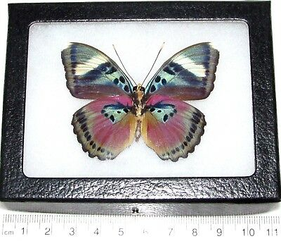 Real Framed Butterfly Pink Euphaedra Verso Africa