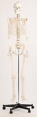 Life Size Human Skeleton Anatomical Model 180cm teaching tool - hands-on train