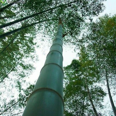 50 Graines Phyllostachys pubescens Moso Bambou,bambou géant,moso bamboo seeds