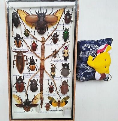 Real Beetles Mix Big Specimen Mounted Stick Bug Insect Taxidermy Entomology Box