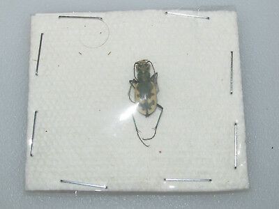 Cicindela formosa formosa (green form, very rare) from the Bear Lodge Mountains