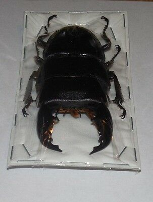 75Mm+ Dorcus Titanus Yasuokai Giant Stag Beetle Real Insect Indonesian Taxidermy
