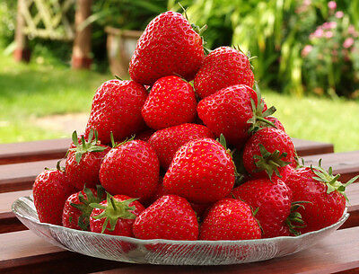 500 Seascape Ever Bearing Strawberry Plants - Certified Healthy Bare Root Plants
