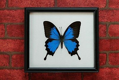 Real Big Papilio Ulysses  Butterfly Taxidermy Framed Insect Home Decoration