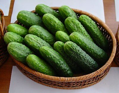 Seeds Cucumber Victoria F1 Pickling Vegetable Organic Russian Ukraine