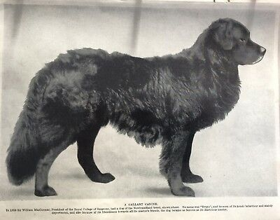 NEWFOUNDLAND DOG  A GALLANT CANINE  AS KNOWN IN 1934 Vintage Art Print