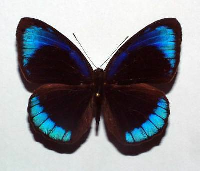 EUNICA ALCMENA FLORA - unmounted butterfly