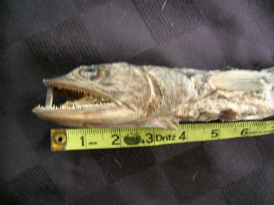 REAL dried FISH Shark/Taxidermy/jaw/jaws/teeth/fish/sharks/skeleton/mount/ray