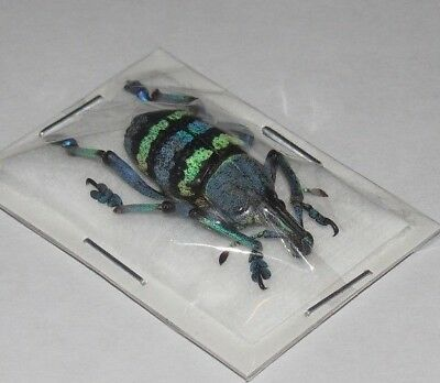 Eupholus Magnificus Beetle Real Insect Indonesia Taxidermy