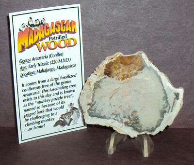 Polished Madagascar Petrified Wood with Stand & Information Card!