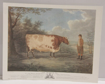 """Cow Durham Ox Field Woods Edge - 8x10"""" Selavy - Printed Italy - NEW A117"""