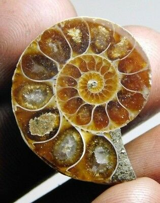 23 cts Natural  Ammonite fossil cabochon  loose gemstone fancy shape mr 165 top