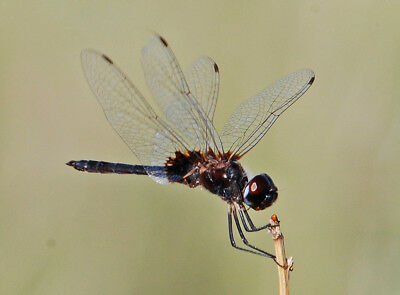 One Real Dragonfly Damselfly Clear Wing Erythrodiplax Unmounted Wings Closed