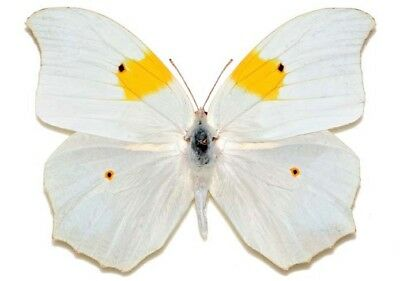 One Real Butterfly White Yellow Anteos Clorinde Peru Unmounted Wings Closed