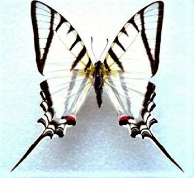 One Real Butterfly Eurytides Agesilaus Zebra Swallowtail Unmounted Wings Closed