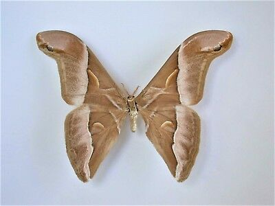 One Real Silk Moth Samia Insularis Unmounted Wings Closed Indonesia