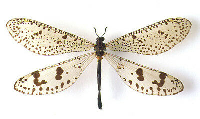 One Real Insect Neuroptera Palpares Antlion Madagascar Unmounted Wings Closed