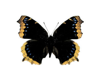 One Real Butterfly Nymphalis Antiopa Mourning Cloak Unmounted Wings Closed