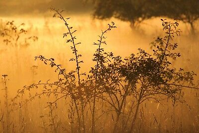COWS SUNRISE MISTY DEW PHOTO ART PRINT POSTER PICTURE BMP662A