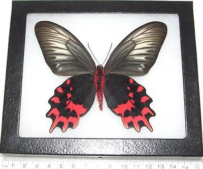 Real Framed Butterfly Pink Red Atrophaneura Semperi Female
