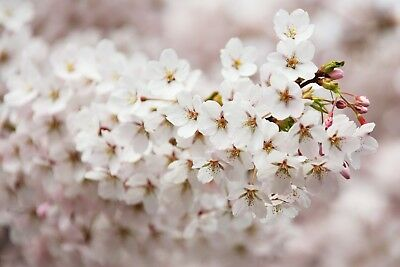 Tree Blossom Canvas Picture Poster Print Wall Art Unframed #1336