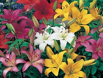 Lilium Bulbs Full Sized - Mixed Colours - Asiatic And Oriental Varieties  X 20